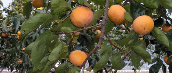 富有柿トップ