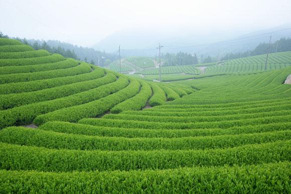 白川茶ペットボトル500トップ